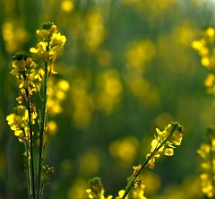~~ mustard yellow ? ~~ (tints n tones) Tags: winter yellow backlight bokeh delhi fields mustard 70300 d90 faridabad krishlikesit
