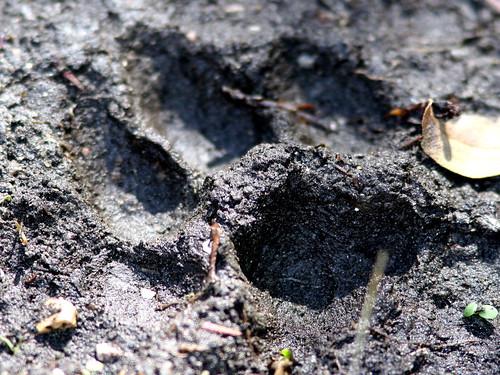 Bobcat Track 20100118