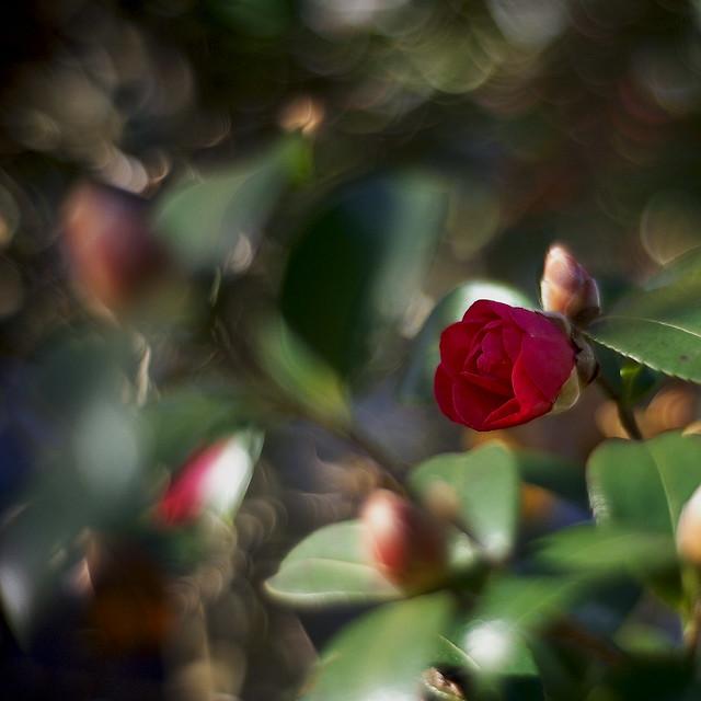 Camellia in square
