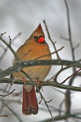 Enduring Winter's Chill (laszlo-photo) Tags: winter ohio cute female cardinal branches cleveland cardinaliscardinalis i