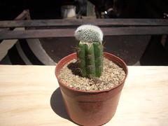 DSCN0014 (Maria luisa y sus cactus) Tags: cactus y otros mis interesantes injertos
