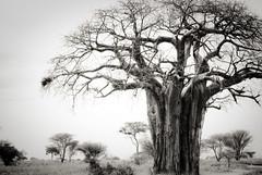 _IGP2125 (orang_asli) Tags: africa tree nature tanzania nationalpark champs fields arbre baobab flore tarangire lieux afrique aficionados naturel tanzanie savane parcnational géographie dicotylédone gžographie dicotylždone