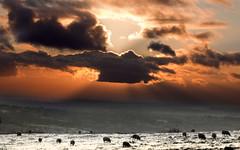 Sheep_sunset (PeterChad) Tags: uk sunset england cloud landscape sheep cheshire forrest wildlife rays hillside plain macclesfield welcomeuk