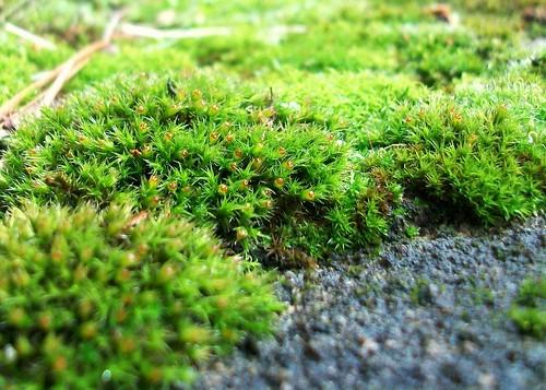 moss balls detail