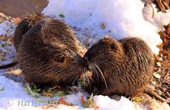 A si moj al' nisi ...? (natalija2006) Tags: nature wildlife slovenia ljubljana slovenija nutria ljubljanica coypu myocastorcoypus narava nutrija biberatte