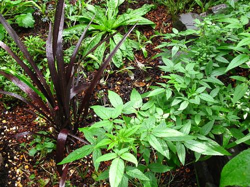 Phormium 'Black Adder' and Cedronella canariensis