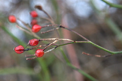 red rose berries