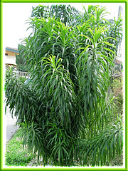 Dracaena deremensis, an unidentified garden variety in the neighbourhood