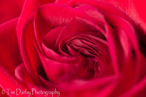 Rose Macro- 6-9-09-2