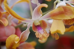 Flaring petals of a pink, gold and rosy-throated Dendrobium reach for the sun (jungle mama) Tags: pink white orchid yellow fun gold miami petal stamen tropical vein dendrobium soe flaring naturesfinest coth supershot mywinners abigfave platinumphoto anawesomeshot diamondclassphotographer flickrdiamond goldstaraward gnneniyisithebestofday rubyphotographer dragondaggerphoto qualitysurroundings beyondbokeh rosythroat peachgoldandwhiteorchid