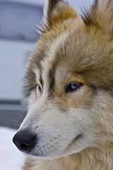 Siberian Husky (thotro79) Tags: winter dog snow husky blueeyes hund siberianhusky sleddog schlittenhund schnauze vogtland blaueaugen sleddograce schlittenhunderennen hammerbrcke