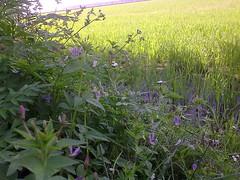 Bunga marman (ariff kajang) Tags: fauna flora sawah sempadan