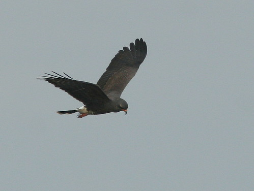 Male Snail Kite 20100215