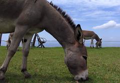 Nabugabo Beach (Uganda) (david ross smith) Tags: africa lake grass clouds donkeys donkey bluesky uganda mules mule greengrass thirdworld beastofburden eatinggrass lakenabugabo culturesofresistance davidrosssmith nabugabobeach
