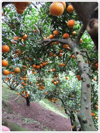 關西採草莓橘子牛欄河2010.02.20-34