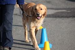 Mid-training! (Mark Brocklehurst) Tags: dogs canon eos brighton blind mark marathon guide february 2010 500d guidedogs