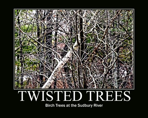 Twisted birches