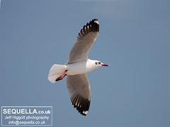 Brown-headed Gull (Jeff Higgott (Sequella.co.uk) - 2 million views!) Tags: bird thailand gull february 2010 laridae brownheaded brownheadedgull larusbrunnicephalus img1936