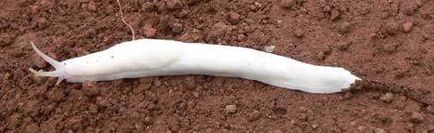 WhiteSlug