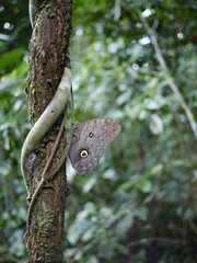 Owl butterfly (Jimmy_Campbell) Tags: rainforest jungle rurrenabaque amazonbasin