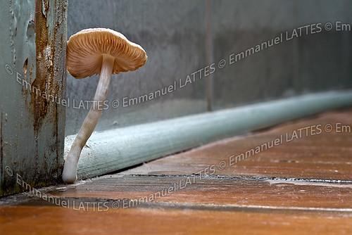 Champignon De Type Mycène Mycena Sp Poussant Sur Un Parquet A - Champignon salle de bain