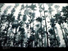 .Misty. (.krish.Tipirneni.) Tags: road morning trees india mist nature coffee misty fog landscape nikon foggy tall karnataka hpc feelgood chikmagalur d40 borrowedcam 18200vr coffeeestates