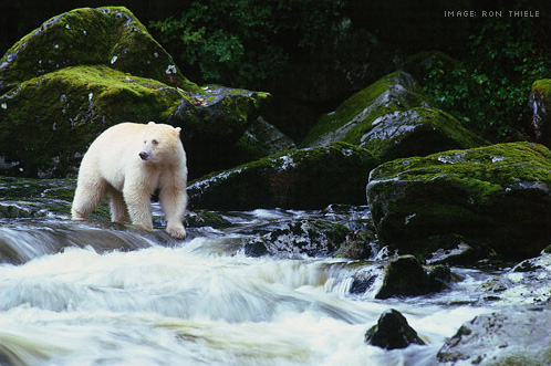 The Kermode Spirit Bear