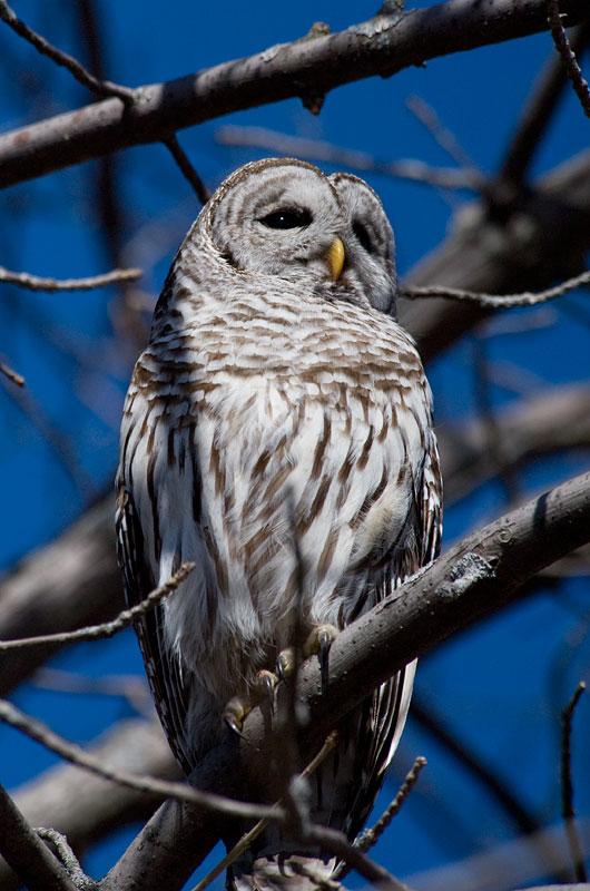 Barred Owl at Presqu'ille Park, Ontario.