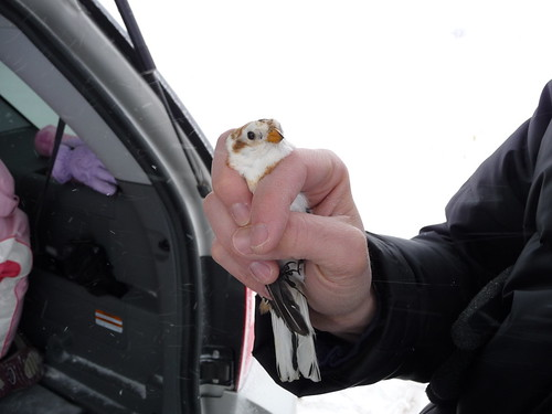 Banding Snow Bunting