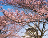 osaka temple sakura cherry blossoms picture tree