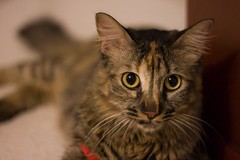 Canelita (AniSuperNova83) Tags: love nova cat daughter kitty gata adopted canela hija kitter canelita adoptada supernova83 anisupernova