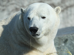 Eisbr / Polar Bear (Ursus maritimus) (Sexecutioner) Tags: bear portrait nature animal animals digital canon germany deutschland zoo tiere colorful stuttgart wildlife bears natur polarbear polar ijsbeer tier ursus br 2010 bren ours eisbr wilhelma northpole ursusmaritimus polaire oursblanc badenwrttemberg maritimus isbjrn ursopolar osopolar nordpol jkaru  ourspolaire jegesmedve isbjrn orsopolare jkarhu zoostuttgart orsobianco stuttgarterzoo urspolar niedwiedpolarny vosplusbellesphotos hvtabjrn copyrightsexecutioner ariuibardhe polarnimedvjed baltasislokys