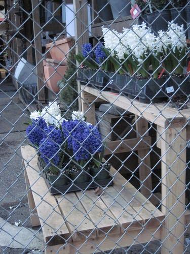 Hyacinths on 11th Avenue