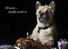 day 81 (Andy Cuadra's photostream) Tags: birthday pet happy photography turkeyleg cairnterrier 50mmf14 d700