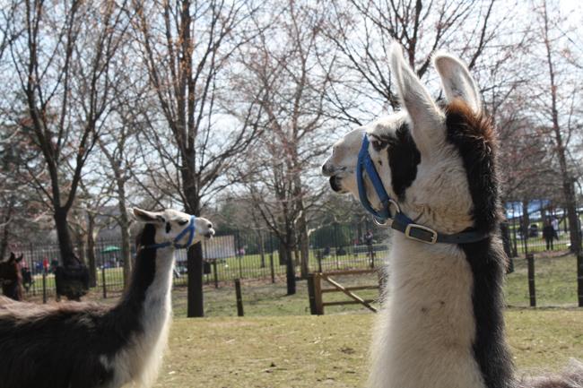 uppity llamas