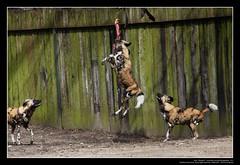 African Wild Dogs / Afrikanische Wildhunde (07) (Georg Sander) Tags: pictures wild wallpaper dog dogs zoo photo foto shot image photos shots african picture perro photograph fotos bild capture duisburg garten bilder captures africano lycaon zoologischer aufnahmen salvaje aufnahme pictus wildhunde afrikanischer wildhund afrikanische wildehond hyänenhund cynhyène gerald1311 hyänenhunde wildehonds