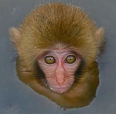 Rhesus Monkey (Chi Liu) Tags: nature canon monkey rhesus naturesfinest macacamulatta chiliu specanimal onephotoweeklycontest