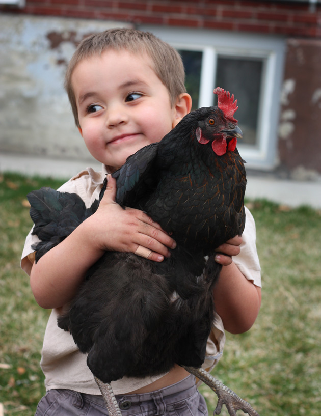 chickens-11