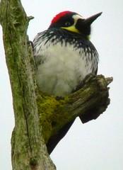 Acorn Woodpecker (orencobirder) Tags: woodpeckers flickrexport digiscope largebirds