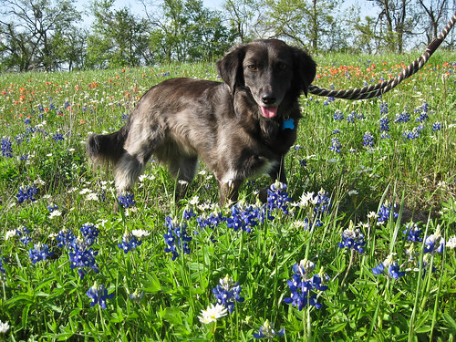Sofie in the Bluebonnets