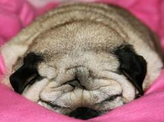Lil' Dumpling (wisely-chosen) Tags: sleeping dog march pug bebe picnik 2010 theempress beebs fawnpug adobephotoshopcs4 rescuedpug empressbebe empressbeebs sweetbeebs