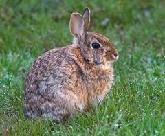 [フリー画像] [動物写真] [哺乳類] [小動物] 「兎/ウサギ]       [フリー素材]
