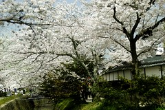 (nobuflickr) Tags: flower nature cherry kyoto  kamogawahanakairou japan