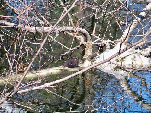 Basking bullfrog