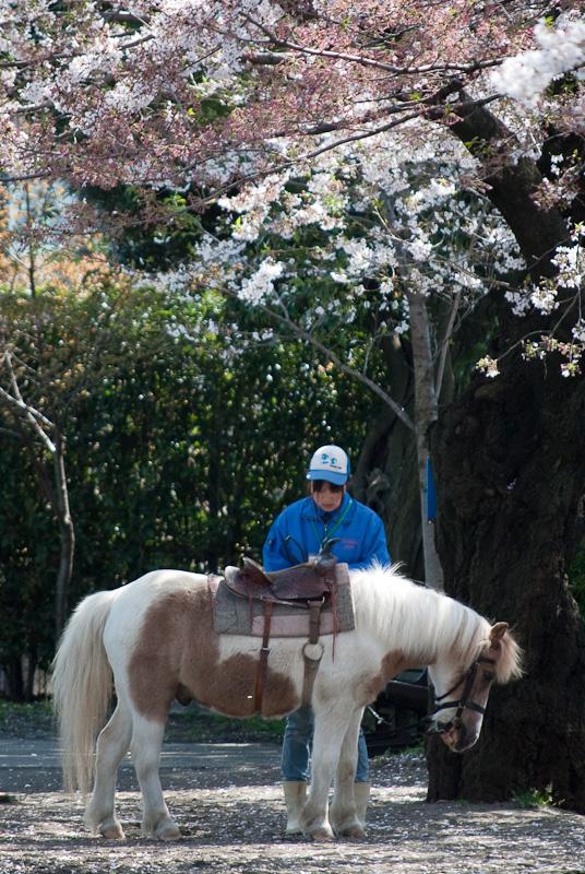 sakura-horse_8175