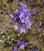 california gilia - gilia achilleifolia