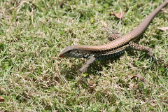 "Apr08_ DR Trip_ Bot Garden_ scurrying gecko • <a style=""font-size:0.8em;"" href=""http://www.flickr.com/photos/30765416@N06/4520939546/"" target=""_blank"">View on Flickr</a>"