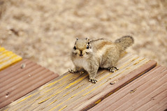 Hola (Rockrice) Tags: china travel wild cute nature animal forest nikon squirrel fresh shangrila yunnan catoon d90