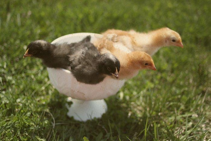 04-15-chickens