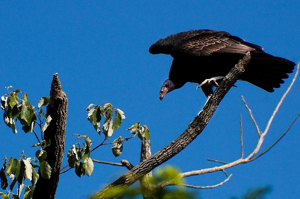 """Una clase de buitre llamado """"Yryvú"""" se posa en los árboles secos de los montes cercanos al Rancho Laguna Blanca. (San Pedro, Paraguay - Elton Núñez)"""
